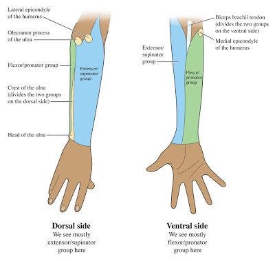 diagram flat dorsal
