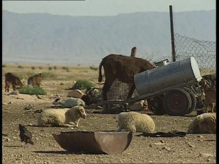 CONFLICT ART 549824372-bedouin-donkey-tunisia-sheep