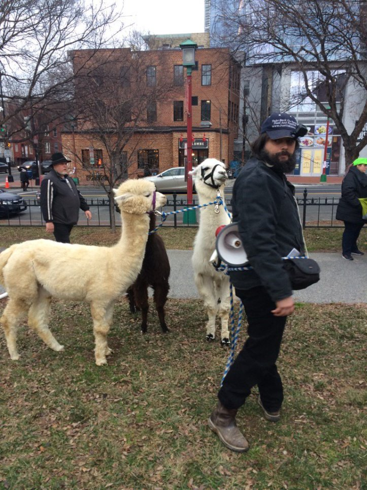 llamas-at-protest-c2nf5q8wqaaxb1t