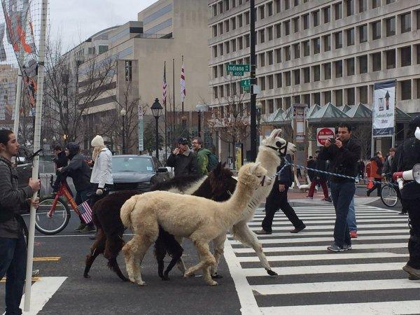 llamas-at-protest-c2oeyojuqaa7joi
