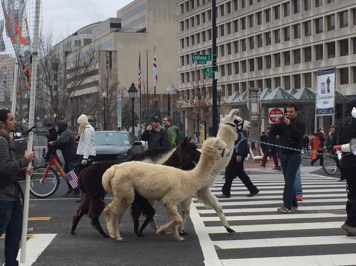 llamas-at-protest-c2oeyojuqaa7joi